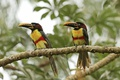Картинка forest, birds, couple, chestnut-eared Aracari