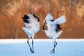 Картинка фон, снег, танец, журавли, пара