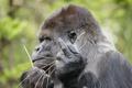Картинка горилла, обезьяна, жест, знак