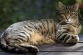 Картинка кошка, кот, взгляд, скамейка, природа, поза, серый, фон, доски, лежит, полосатый, чувство собственного достоинства