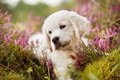 Картинка природа, щенок, собака