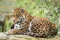 Картинка отдых, ягуар, животное, кошка