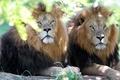 Картинка взгляд, львы, братья