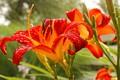 Картинка капли, цветы, роса, лилия, лепестки