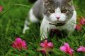 Картинка кот, трава, розовые, подросток, серый, природа, розовые цветы, серый с белым, кошка, портрет, желтые глаза, ...