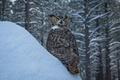 Картинка деревья, сугроб, сова, птица, снег, зима, Виргинский филин