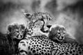 Картинка чёрно - белое фото, мама, гепарды, детеныши