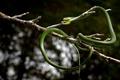 Картинка природа, Leptophis ahaetulla, Parrot snake