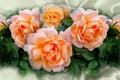 Картинка цветок, лето, природа, настроение, роза, розы, красота, rose, flower, красивые, flowers, beautiful, beauty, harmony, cool, ...