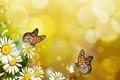 Картинка обои на рабочий стол, бабочки, настроение, ромашки, бабочка