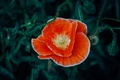 Картинка цветок, мак, красные лепестки, оранжевый