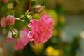 Картинка Розовая роза, Rose, Bokeh, Боке, Бутоны, Pink rose