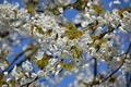 Картинка весна, ветки, вишня, дерево