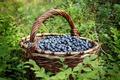 Картинка черника, корзина, ягоды