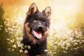 Картинка язык, морда, цветы, ромашки, собака, щенок, боке