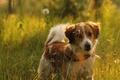 Картинка поле, лето, трава, свет, природа, настроение, собака, луг, рыжий, щенок, ошейник, коикерхондье