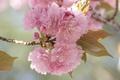 Картинка цветы, ветка, весна, сад, сакура