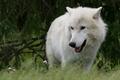 Картинка арктический, полярный, ветки, лето, хвоя, трава, морда, арктический волк, белый, волк, природа, ель, взгляд, портрет