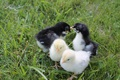 Картинка цыплята, маленькие, трава, birds, chickens, grass