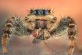 Картинка макро, муха, глазки, добыча, джампер, парук