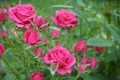 Картинка Pink roses, Боке, Bokeh, Розовые розы