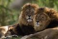 Картинка братья, львы, цари, пара