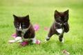 Картинка парочка, котята, трава, два котёнка, лепестки, малыши, игра