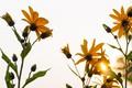 Картинка лето, солнце, Топинамбур, цветы, утро