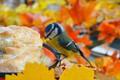Картинка Осень, Птичка, Autumn, Bird