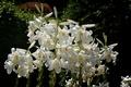 Картинка Лилии, Белые лилии, White lily