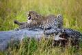 Картинка потягивается, большая кошка, Африка, трава, леопард