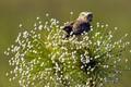 Картинка кроличий сыч, клюв, сова, птица, Токантинс, Бразилия