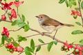 Картинка рыжелобая шипоклювка, птица, ветка, цветы