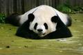 Картинка медведь, панда, спит, Sleep, Bears