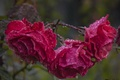 Картинка капли, розы, после дождя