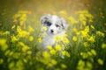 Картинка цветы, щенок, собака, боке, Бордер-колли