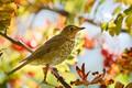 Картинка птица, осень, хвост, дрозд-отшельник, клюв