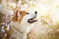 Картинка весна, цветы, Ame, собака