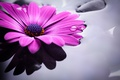 Картинка вода, colorful, flowers, гербера, purple, gerbera