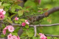 Картинка цветы, ветки, дерево, птица, обыкновенная воробьиная овсянка