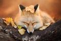 Картинка осень, лиса, fox, листва, лис