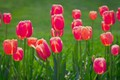Картинка тюльпаны, лепестки, луг, весна