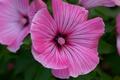 Картинка Pink flowers, Розовые цветы, Штокроза розовая, Hollyhock