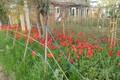 Картинка HTC one m8, Краснодар, Цветы, Тюльпаны, Россия, Природа, Весна, Дача, Дом