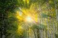 Картинка лес, солнце, лучи, свет, роща