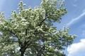 Картинка облака, ветки, небо, весна, голубой, яблоня в цвету, дерево, листья, белый, зеленый, яблоня, цветы