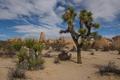 Картинка США, Калифорния, дерево Джошуа, песок, пустыня, Joshua Tree National Park, California, Riverside