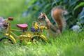 Картинка зверёк, животное, велосипед, цветы, природа, корзинка, грызун, белка, одуванчики, лето, трава