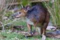 Картинка млекопитающее, сумчатое, обожжённый кенгуру, красноногий филандер