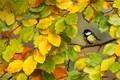 Картинка ветка, ртица, большая синица, осень, листья
